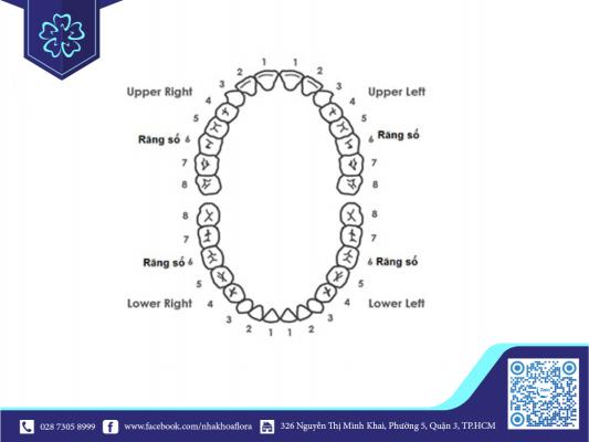 Vị trí răng số 4 và số 5 trên khuôn hàm (ảnh minh họa)
