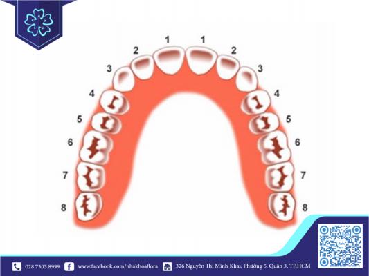 Phân bổ vị trí răng trên hàm (ảnh minh họa)